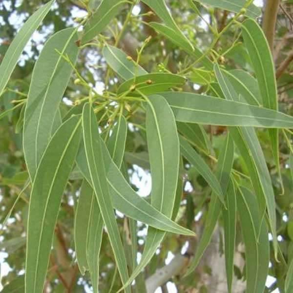Huile essentielle d'eucalyptus globulus pure qualité PRIX ZEN !