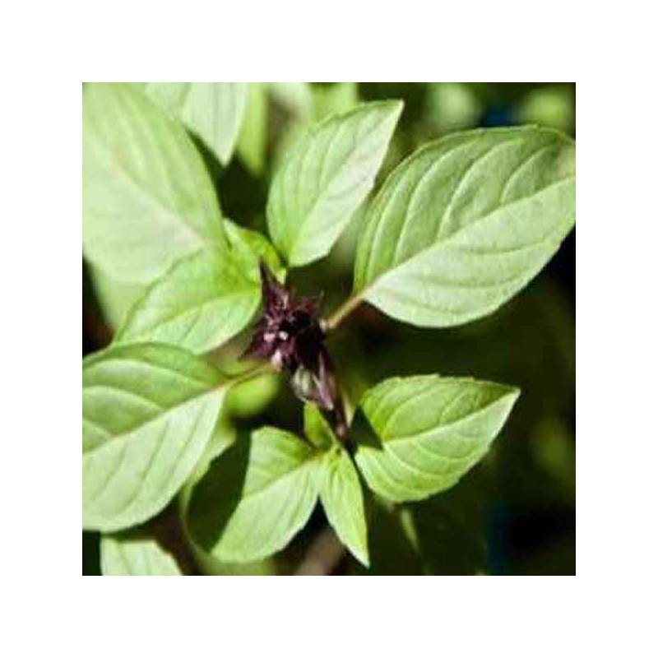 Huile essentielle de Basilic Exotique Bio 10 ml PRIX ZEN !