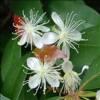 Huile essentielle de Baume de Copahu avec Flacon compte goutte 10 ml
